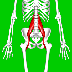 Psoas_major_muscle11