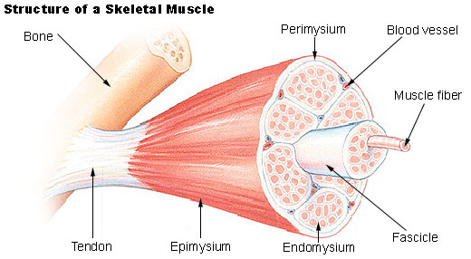 muscle hypertrophy physiology