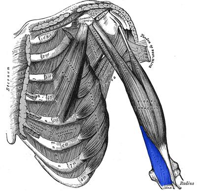 biceps brachialis