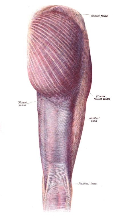 myofascial tissue