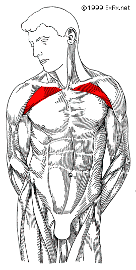 upper chest anatomy