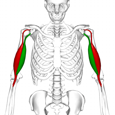 bigger biceps muscle anatomy
