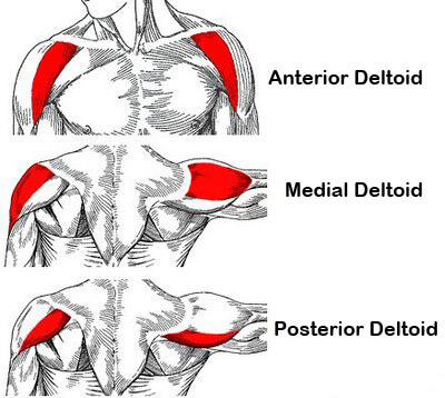 bigger stonger shoulders anatomy