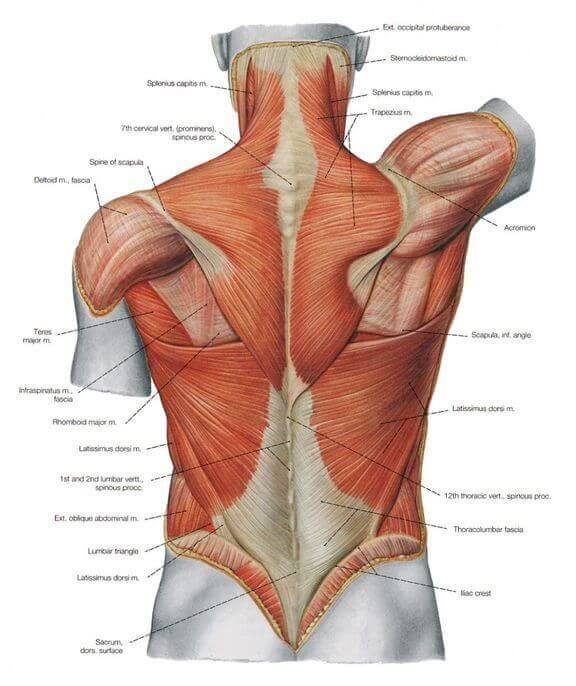 upper body workout back anatomy