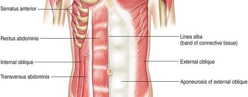 upper body workout torso muscles