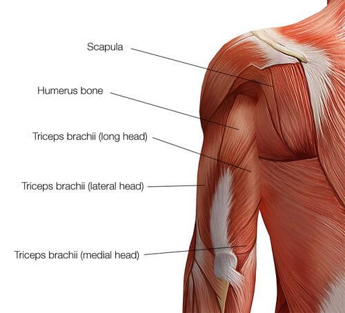 upper body workout triceps muscles