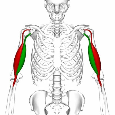 upper body workout biceps anatomy