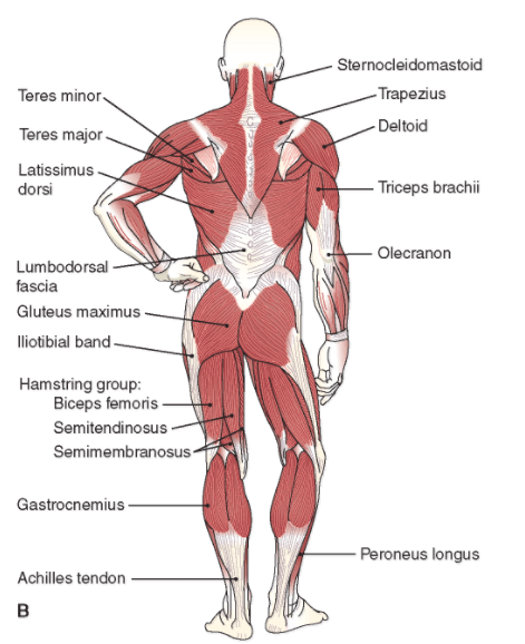 romanian deadlift muscles