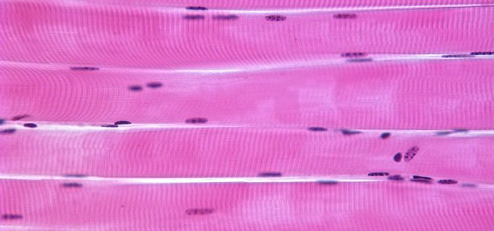 what are muscle fiber types