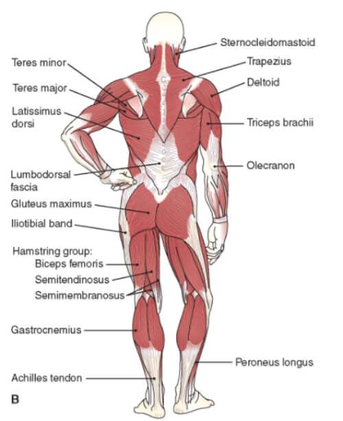 bulgarian split squat muscles