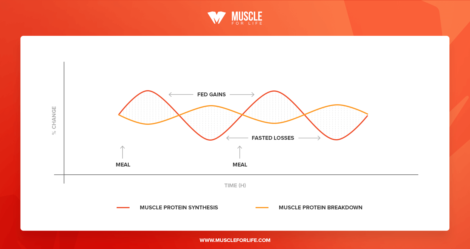 muscle protein synthesis