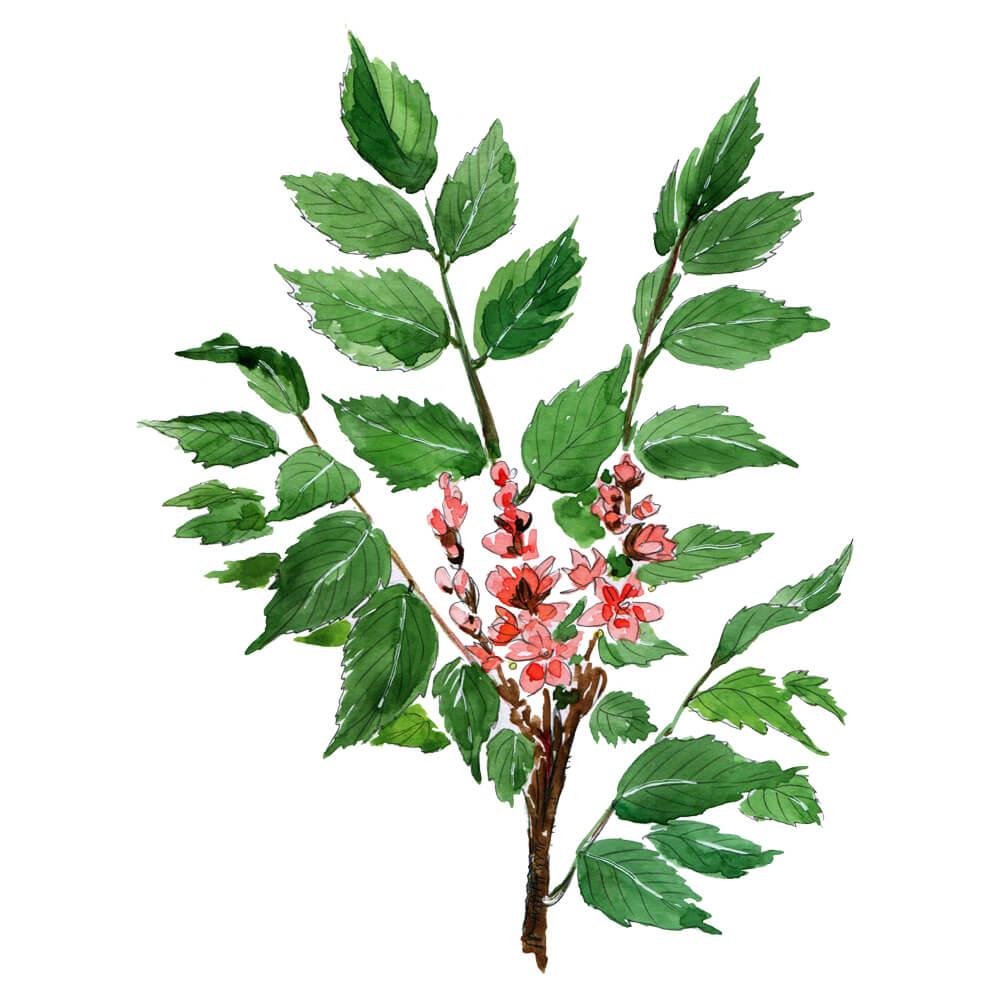 Boswellia Serrata plant