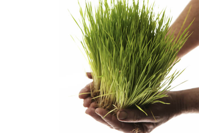 hands holding wheatgrass