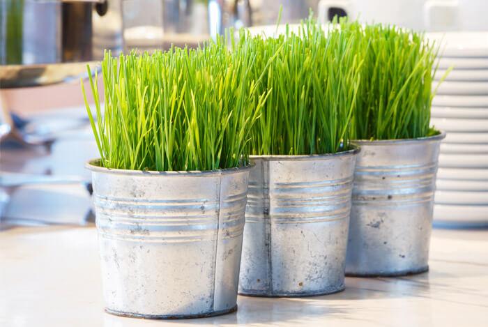 wheatgrass plant pots