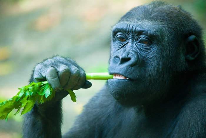 primate gorilla eating