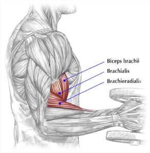 biceps brachialis exercise