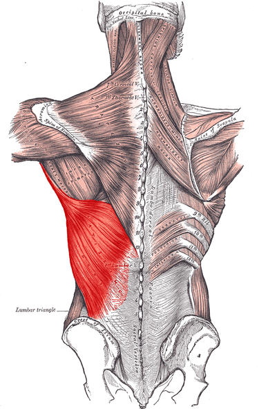 lat muscles anatomy
