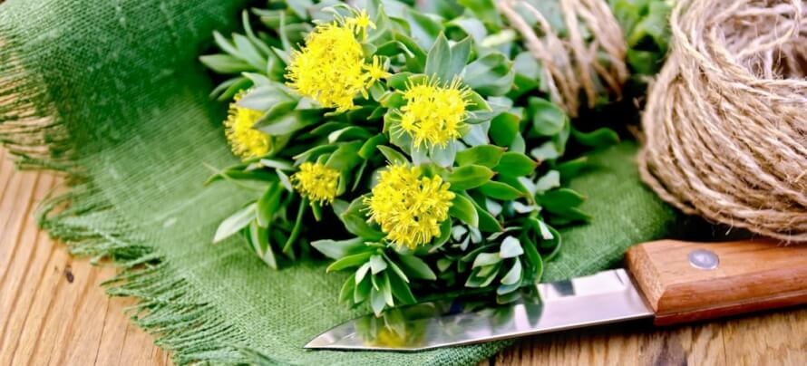 rhodiola side effects