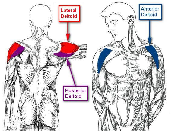 anatomy-of-the-deltoid-muscle-1-0