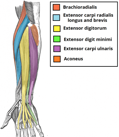 forearm-muscles-anatomy-2