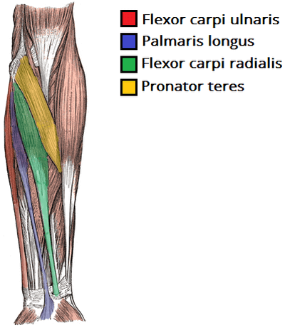 forearm-muscles-anatomy