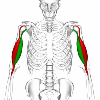 upper-body-workout-biceps-anatomy