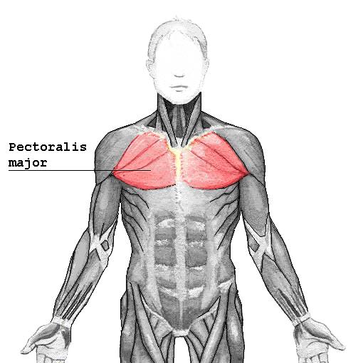 anatomy-of-chest