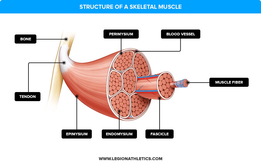 structure-of-a-skeletal-muscle